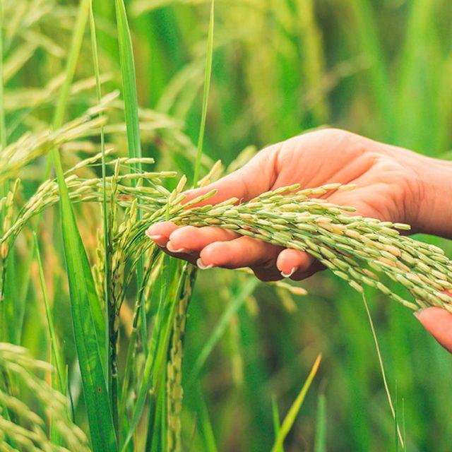 Las últimas lluvias no palían los daños al cultivo de los cereales.
