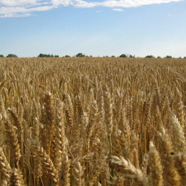 La cosecha de cereales subirá un 9%, según comerciantes europeos
