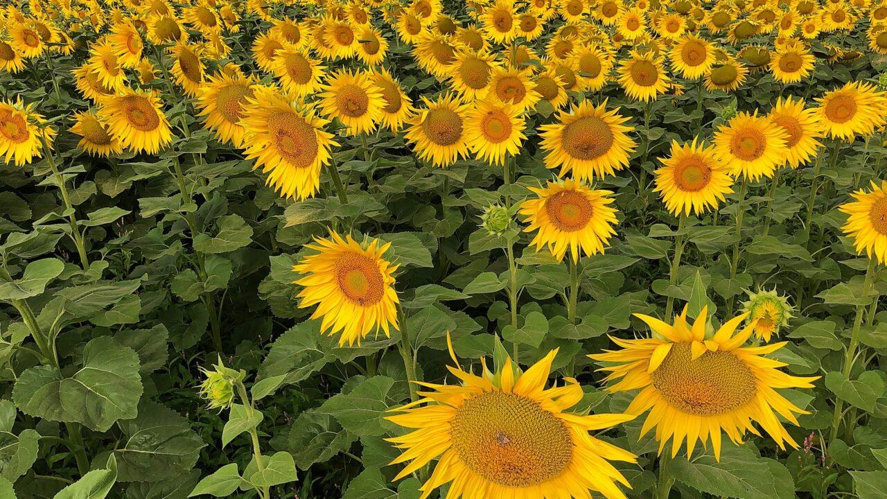 https://grupoct.com/wp-content/uploads/2020/10/sunflower-5387826_1920-1280x720.jpg