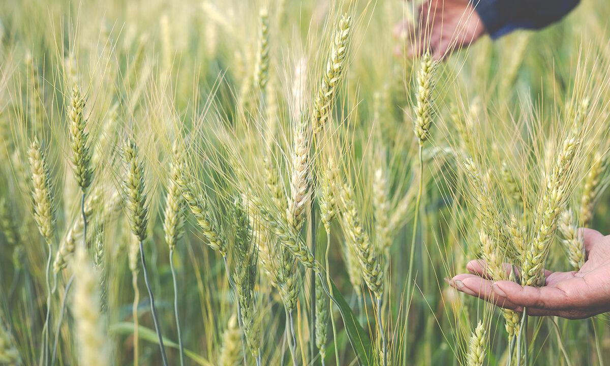 https://grupoct.com/wp-content/uploads/2020/12/farmers-harvest-barley-happily-1200x720.jpg
