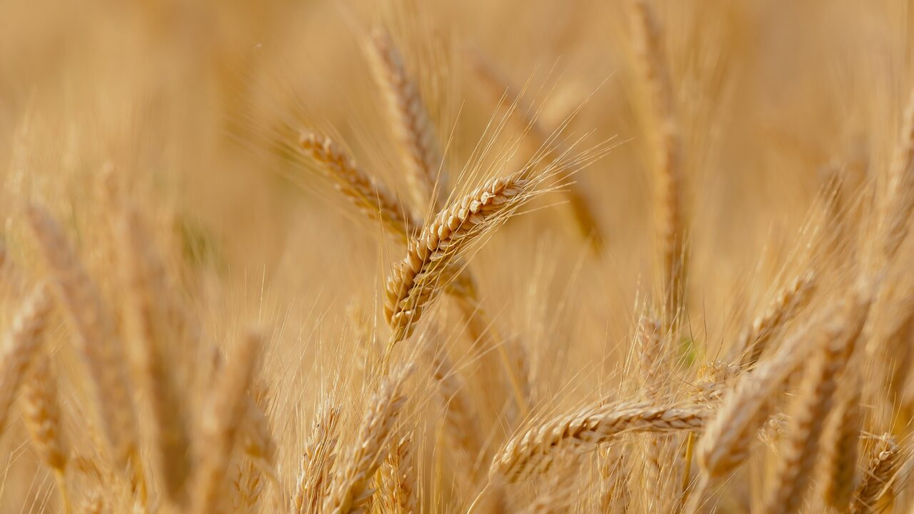 https://grupoct.com/wp-content/uploads/2021/01/wheat-3241114_1920-1280x720.jpg