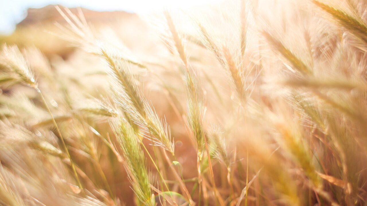 https://grupoct.com/wp-content/uploads/2021/01/wheat-865098_1920-1280x720.jpg