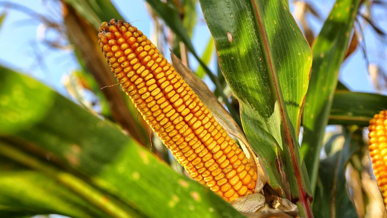 https://grupoct.com/wp-content/uploads/2021/02/corn-on-the-cob-2083529_1920-1280x720.jpg
