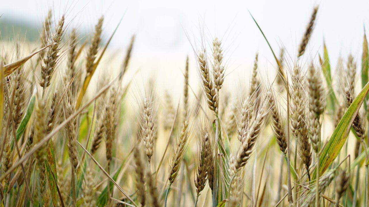 https://grupoct.com/wp-content/uploads/2021/06/wheat-1556698_1920-1280x720.jpg