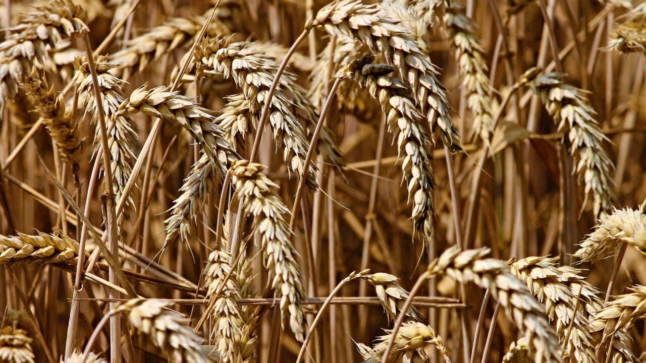 https://grupoct.com/wp-content/uploads/2021/06/wheat-3524861_1920-1280x720.jpg
